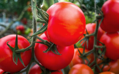Säilötyt tomaatit